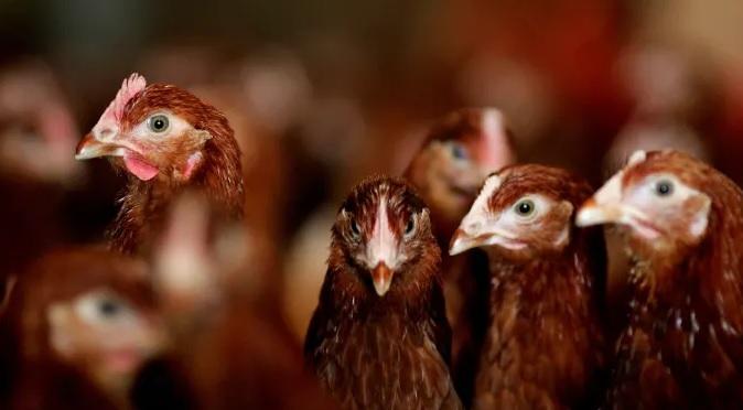 peternakan-ayam